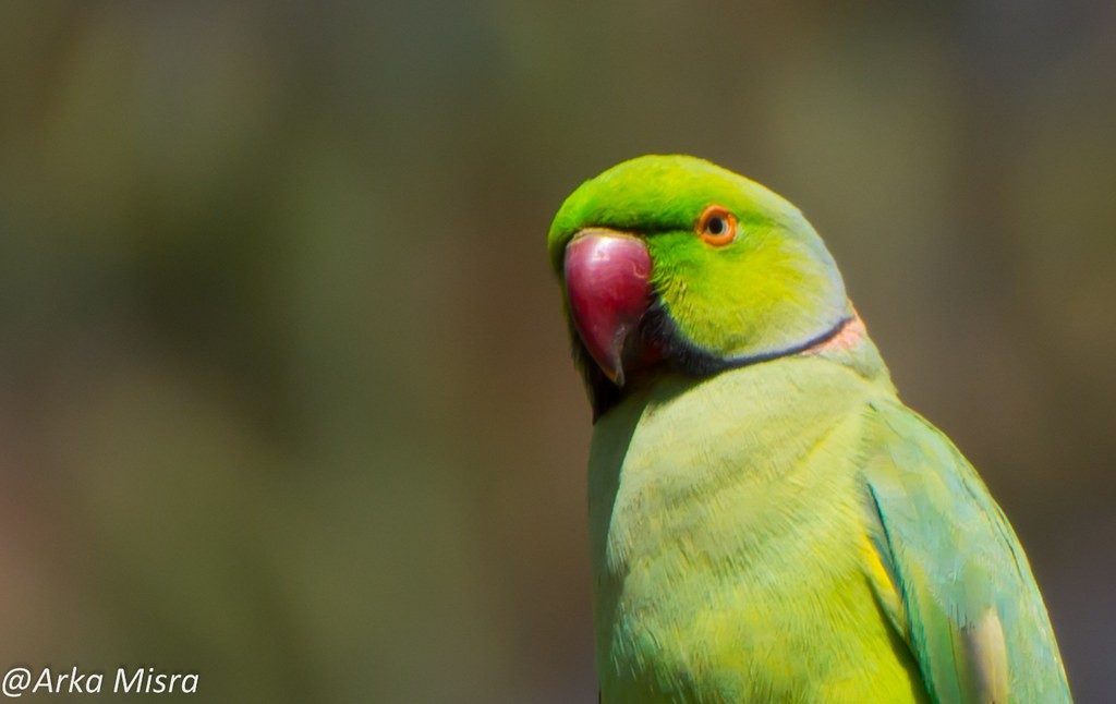 All about parakeets as pets