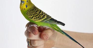 how to tell parakeet gender?