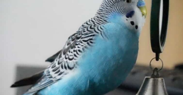 What Do Parakeets Like to Play With?