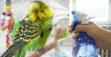 How to Clean a Parakeet?