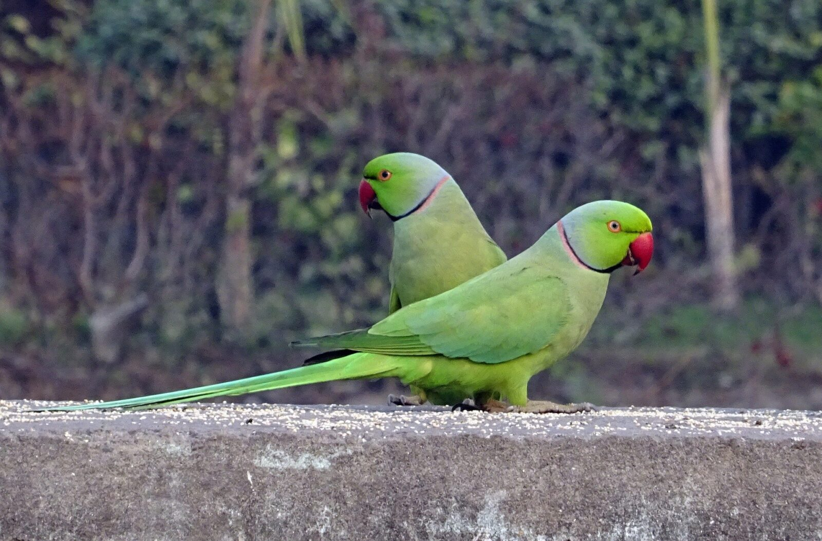 """Should I get a parakeet?"""