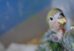 what do baby parakeets eat