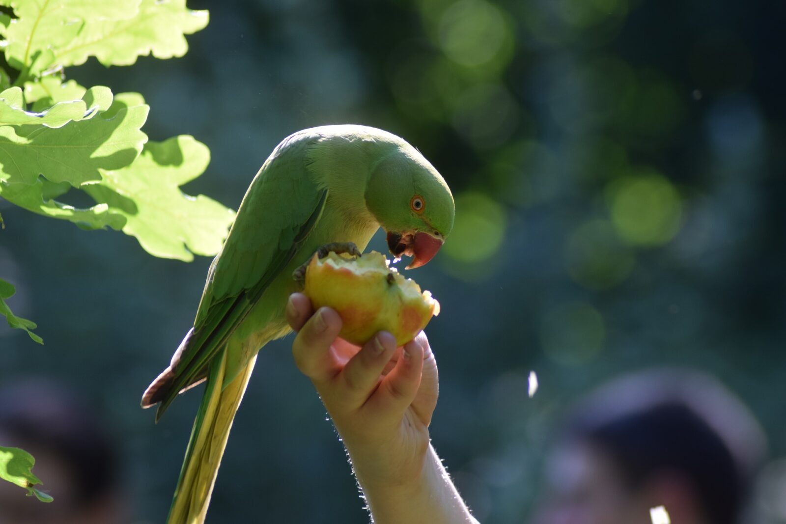 What fruits and vegetable parakeets can eat?