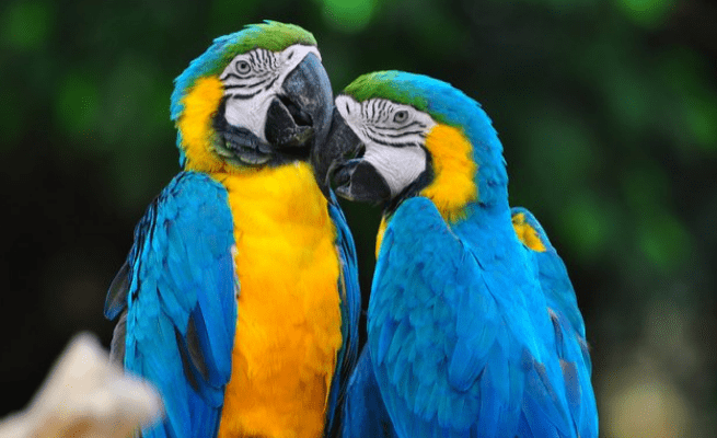 Blue and Yellow Macaw Lifespan
