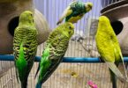 Parakeets Birds Male or Female