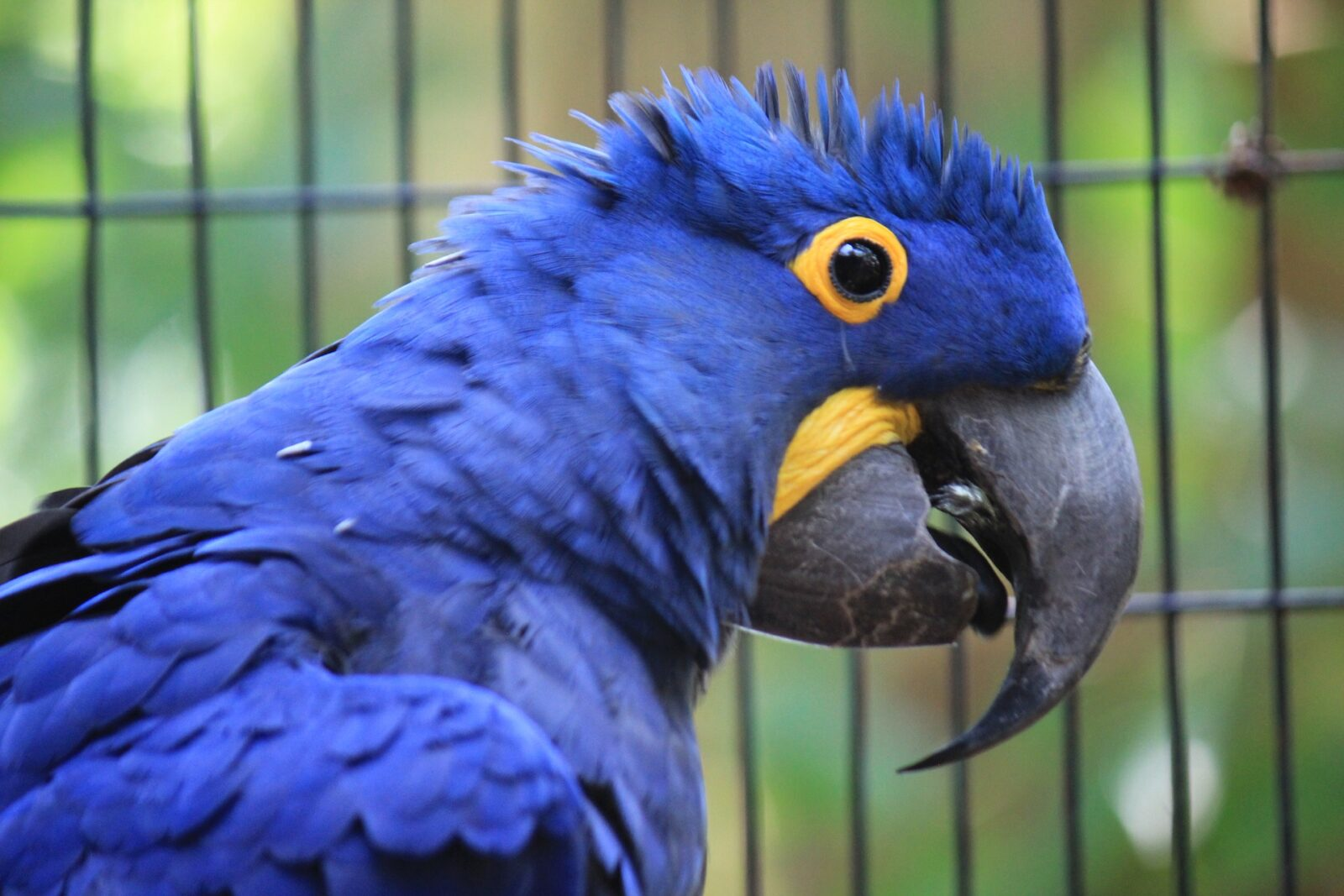 What do Hyacinth Macaws Eat?