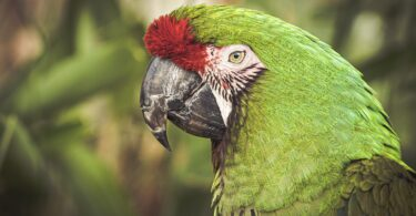 Green Wing Macaw as Pets