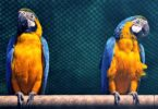 What Does A Blue And Gold Macaw Eat?
