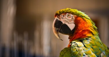 How many species of Macaws are there?