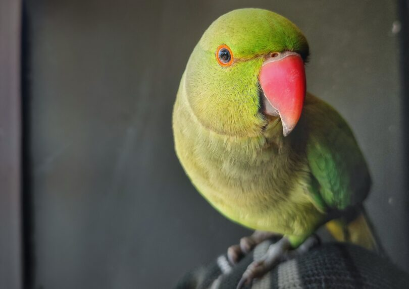 At What Age Do Parrots Start Talking?