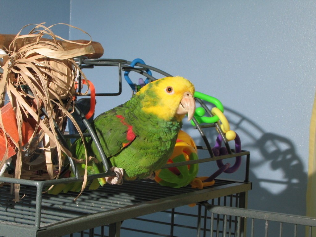 Double Yellow Headed Amazon Parrot Facts