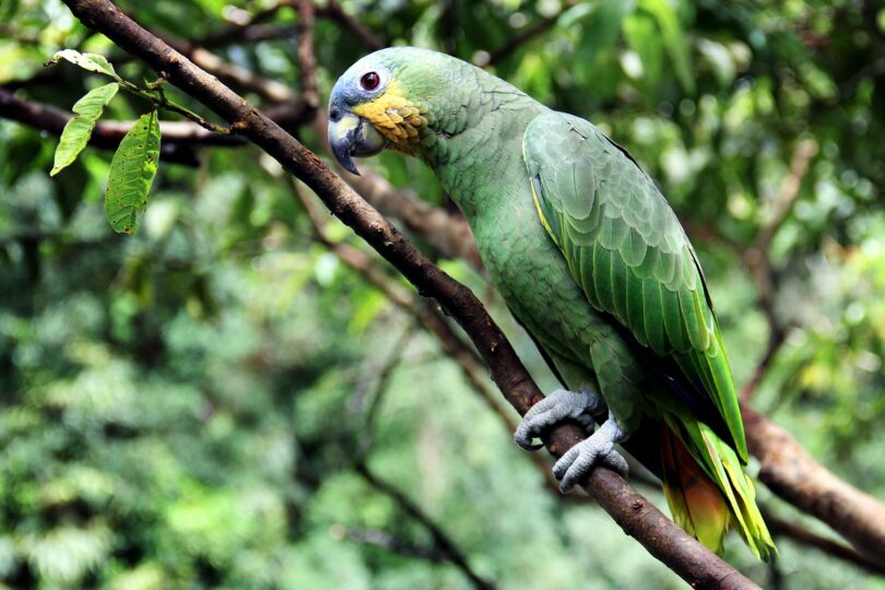 Parrot Adaptations In The Rainforest