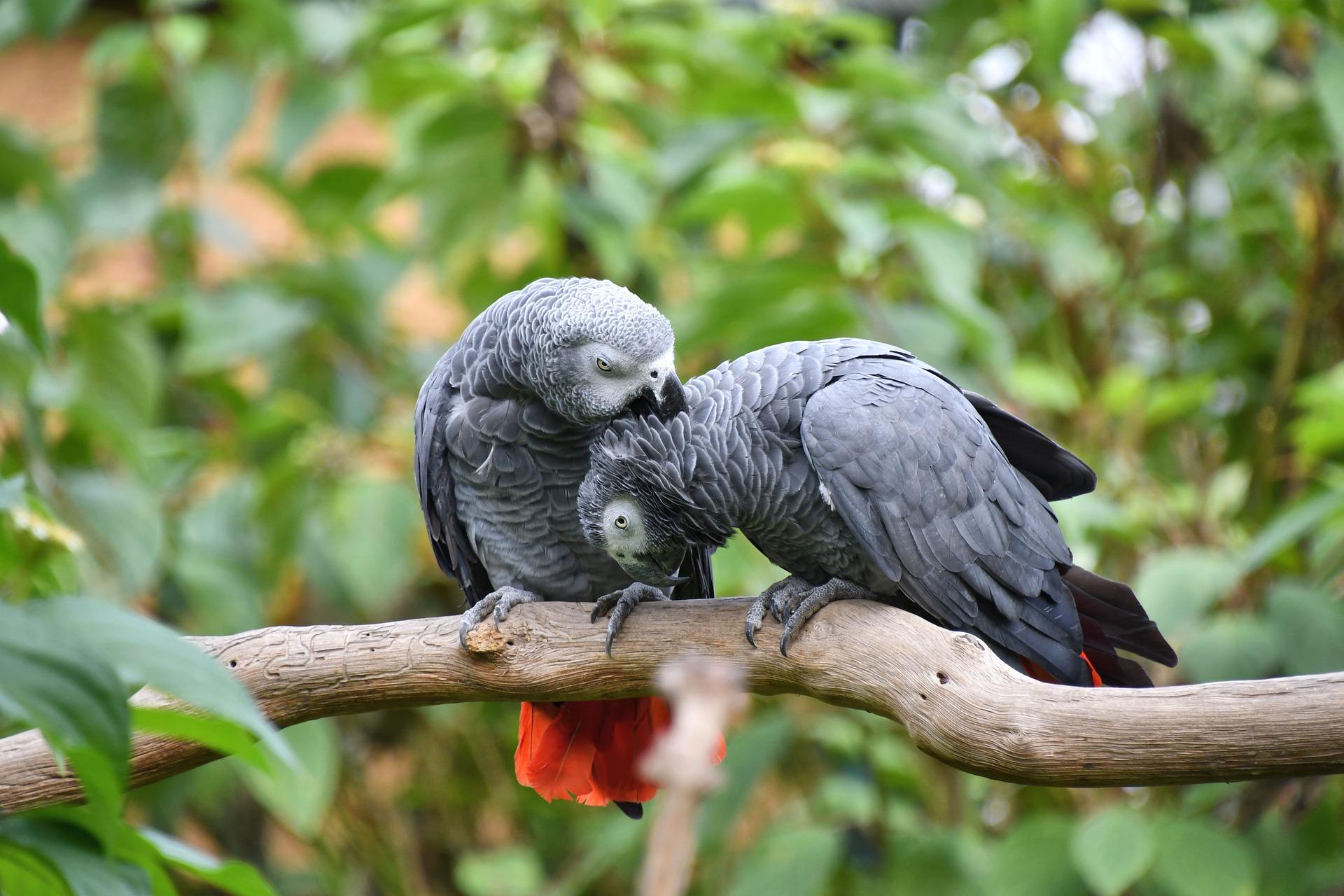 Lifespan Of African Grey Parrots