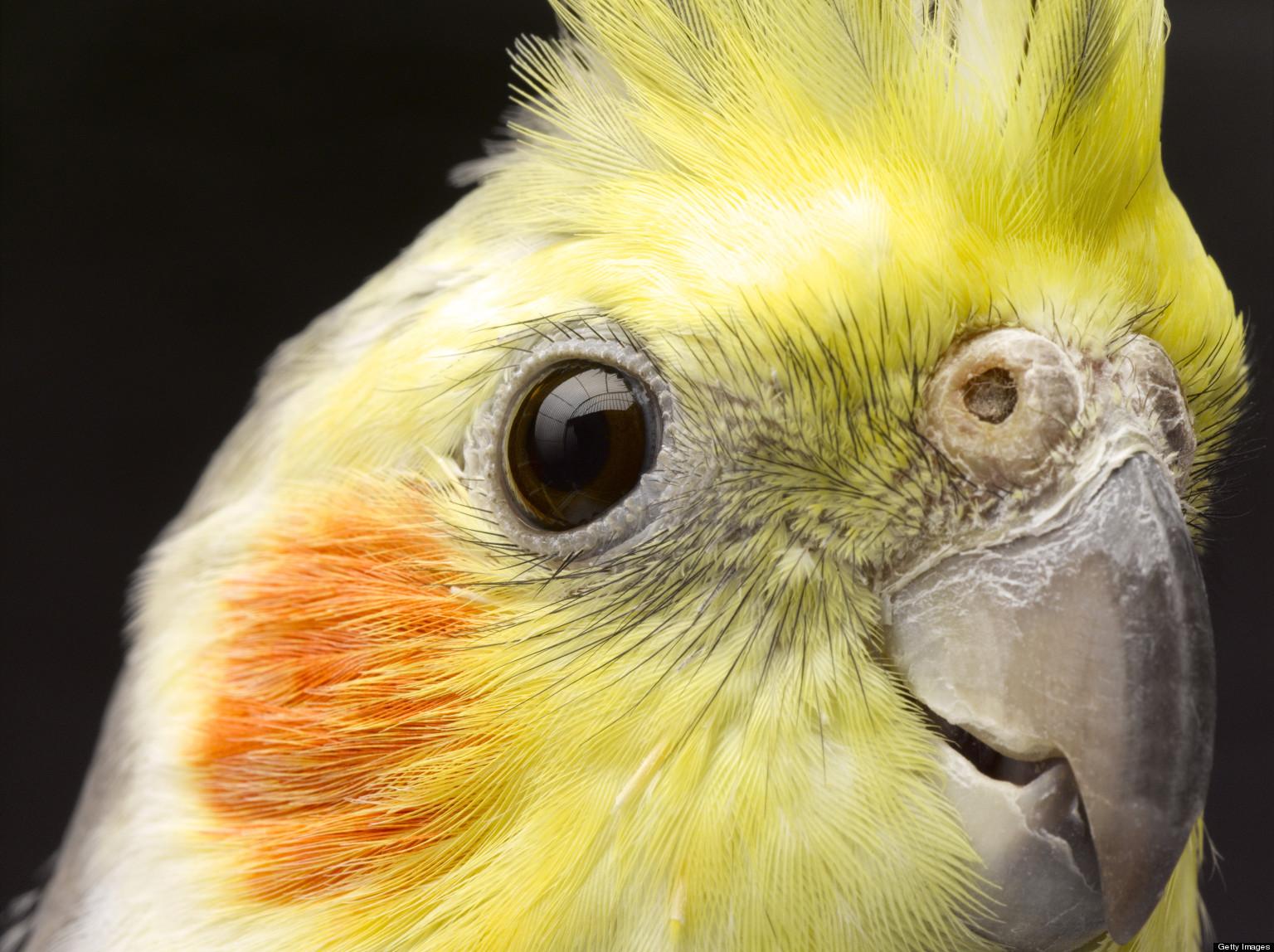 Best Food For Cockatiel Birds